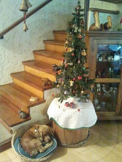 Little dog sleeping next to the Christmas tree. photo