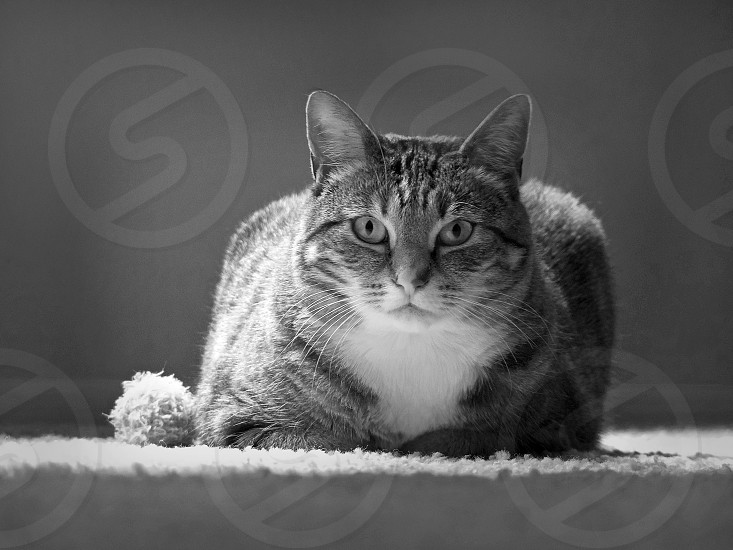 cat with toy black and white photo