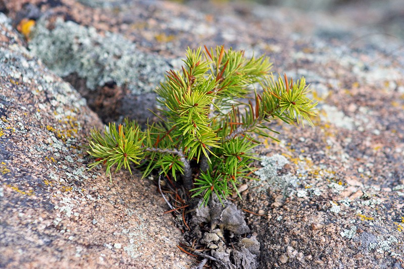 Pine growing in a crack on a boulder.. Against The Odds photo