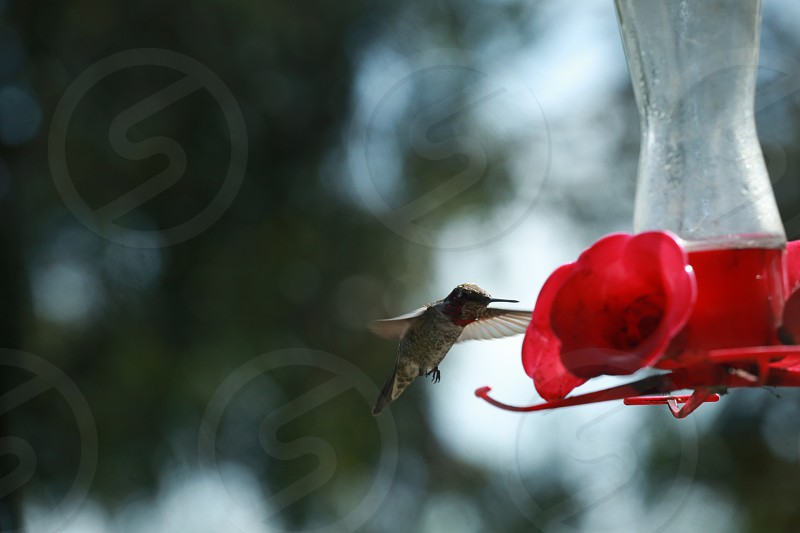 brown hummingbird flying beside red flower tilt shift photography photo