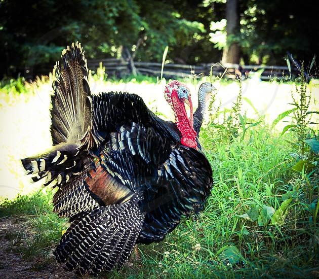 Happy Thanksgiving two turkeys photo