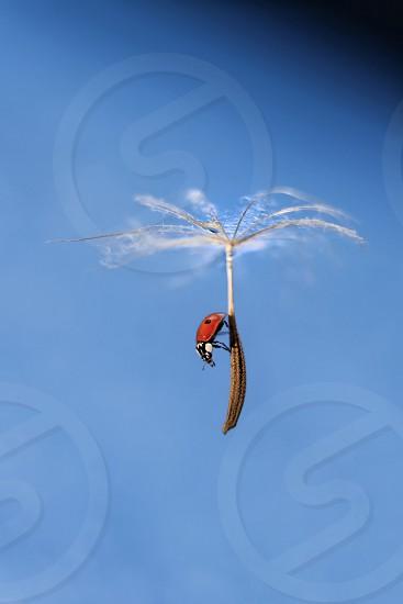 Ladybug flying on dandelion  photo