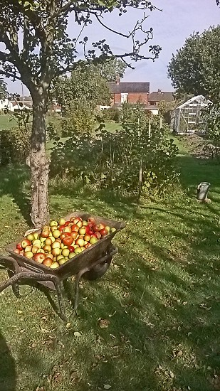A wheelbarrow filled with apples in an orchard photo