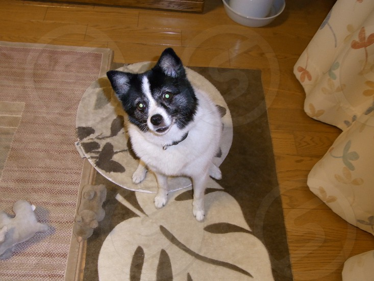 black white small size dog sitting on a white floral design brown rug photo