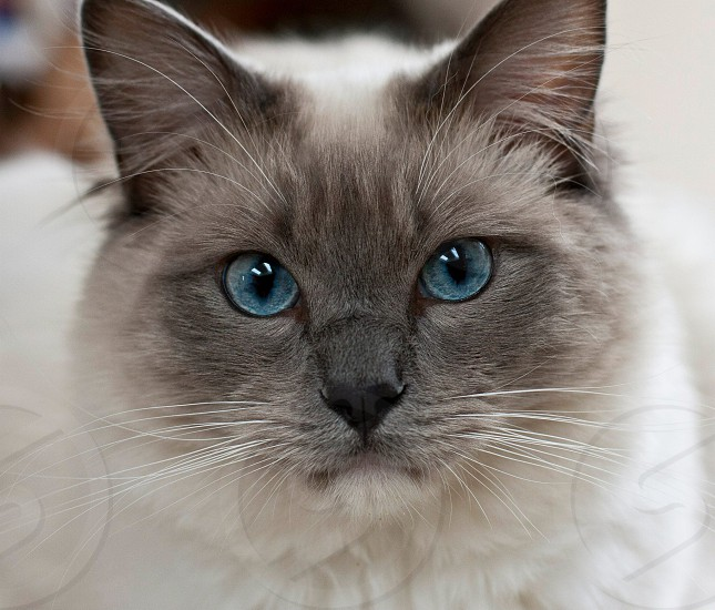 Close-up of grey and white cat with piercing blue eyes. photo