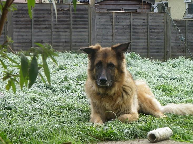 brown and black belgian shepherd photo