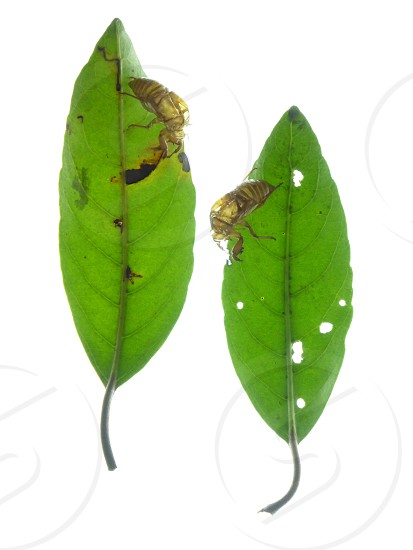 2 brown wasp on green oval leaf photo