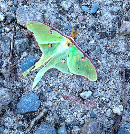 Luna Moth photo