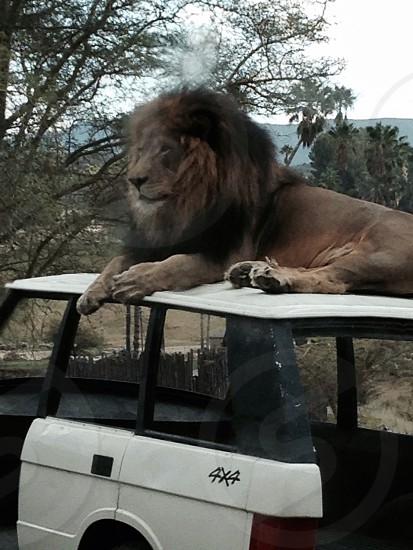 Lion at San Diego Zoo Safari Park photo