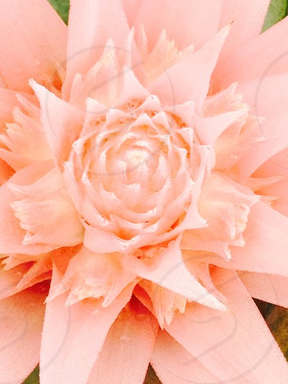 Peach flower bromeliad peach photo