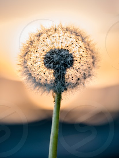 The delicate geometry of a dandelion photo