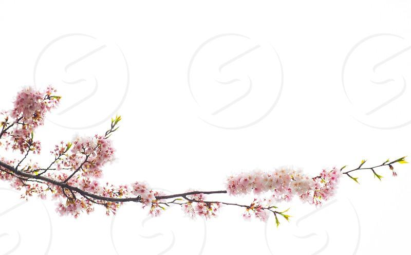 Pink cherry blossom branch photo