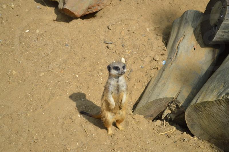 brown meerkat on the dirt photo