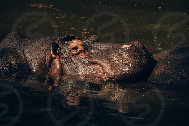 Resting hippo in pond New Delhi zoo  photo