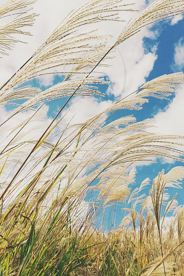low angle photography of wheat grass under white clouded sky at daytime photo