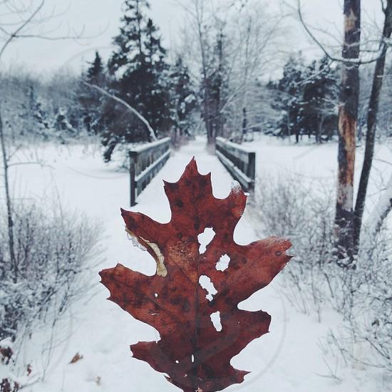 dry orange leaf photo