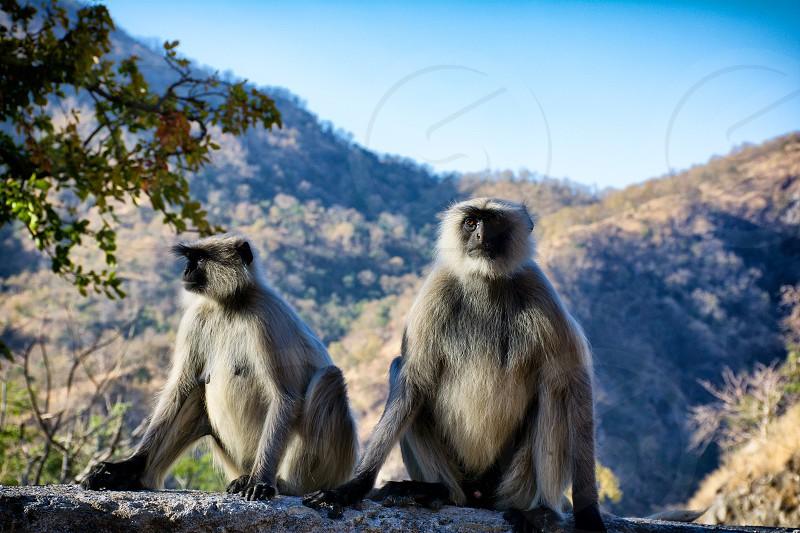 Monkeys in the Mountains. photo