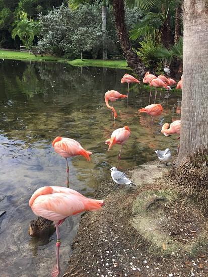 Flamingos water pink birds Florida  photo