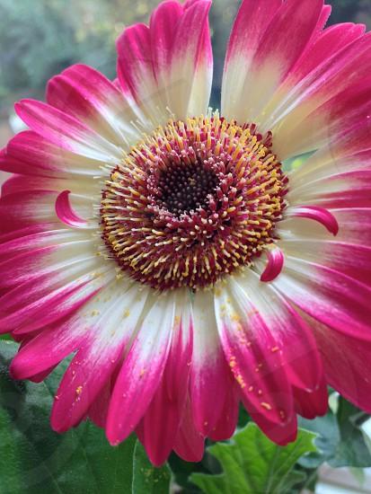 The beautiful Gerbera plant photo