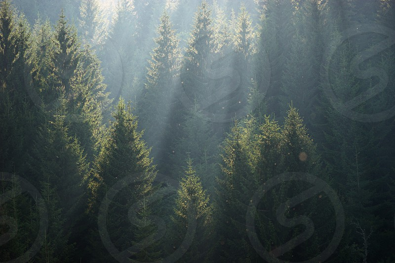 The sun rays in the haze fall through the branches of green firs and pines photo