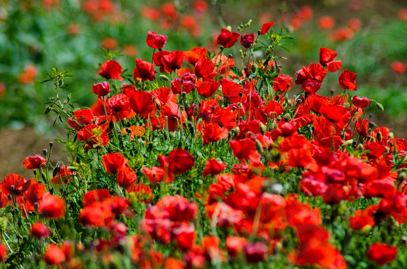 red poppy in bloom photo