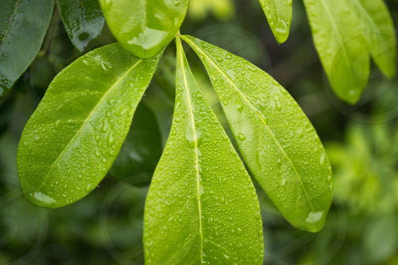 Water droplets on leaves photo