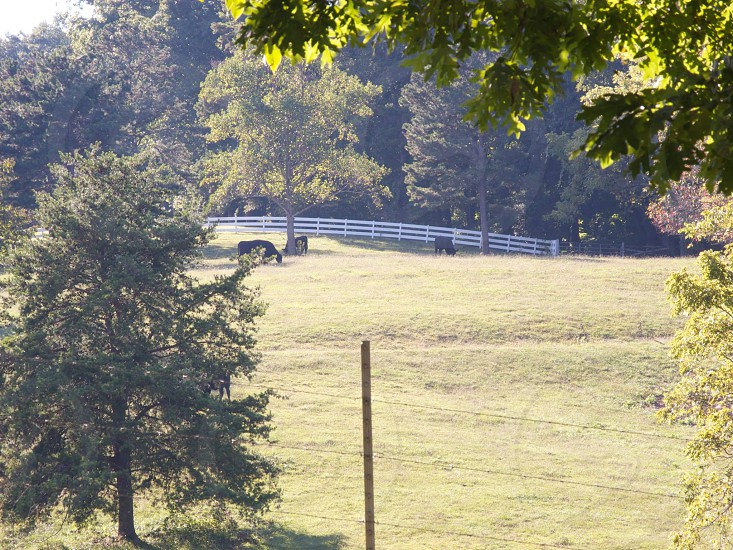 three brown cows on grass near white fence photo