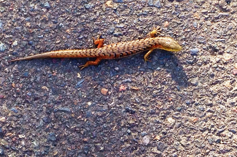 brown reptile on gray pavement photo