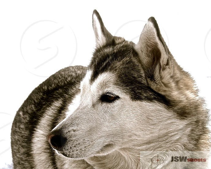 Husky on white photo