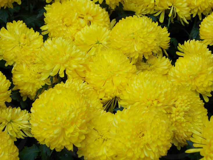 yellow puff aster bouquet photo