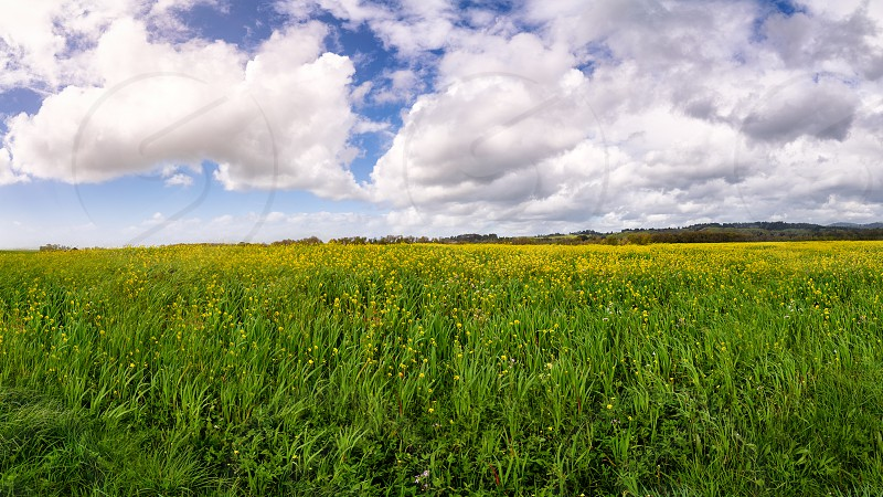 A vast expanse of yellow mustard flowers in Northern California. photo
