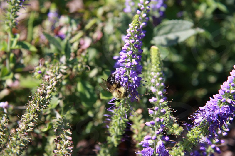 Purple flowers and a bee.  photo