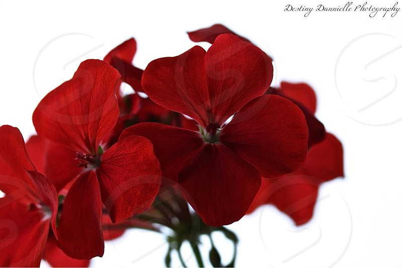Beautiful red flowers photo