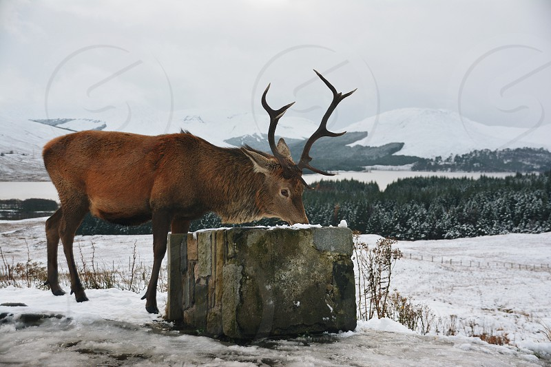 Red deer eating snow in the highlands of Scotland photo