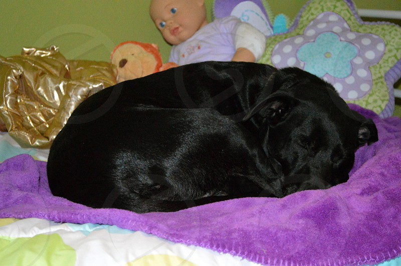 Sweet Black Lab dog curled up asleep on a purple blanket on a child's bed. photo