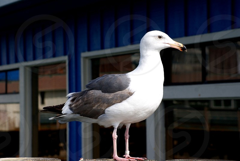 Seagull on the pier  photo