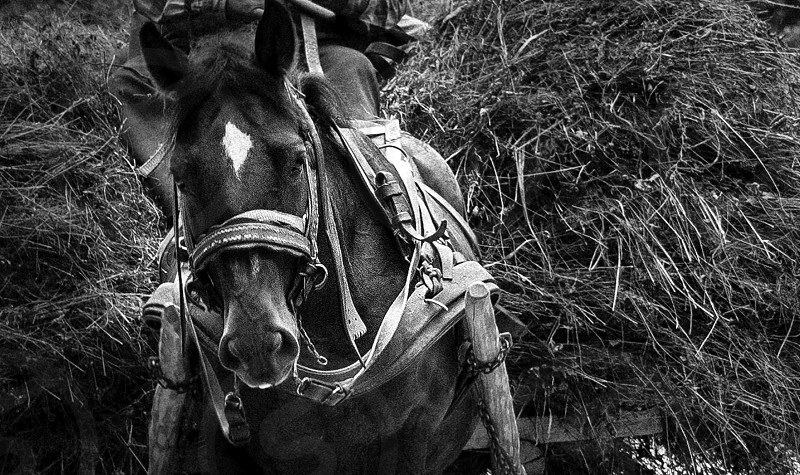 grayscale photo of horse with brown wooden trailer filled with grass photo