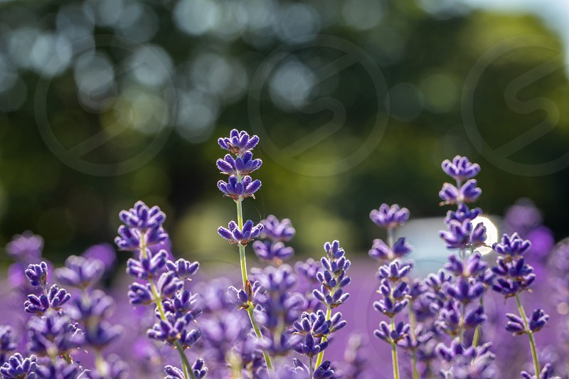 Field of lavender flowers (lavandula angustifolia) photo