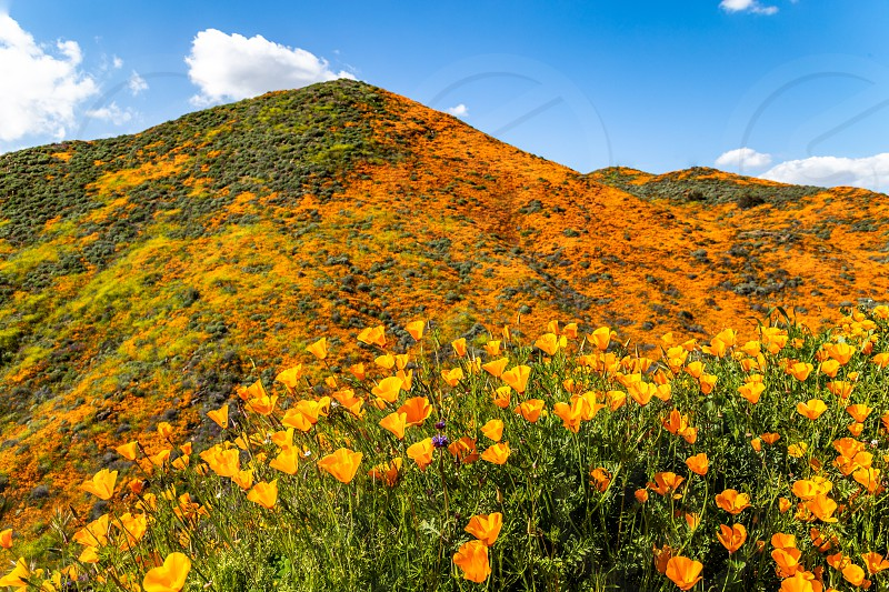 Walker Canyon wildflower Superbloom  photo