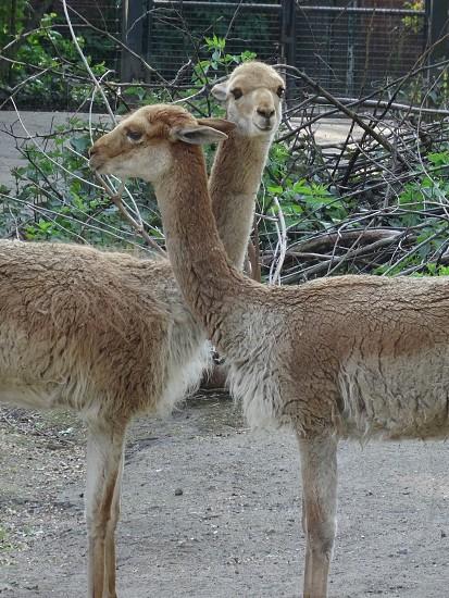 brown llamas photo
