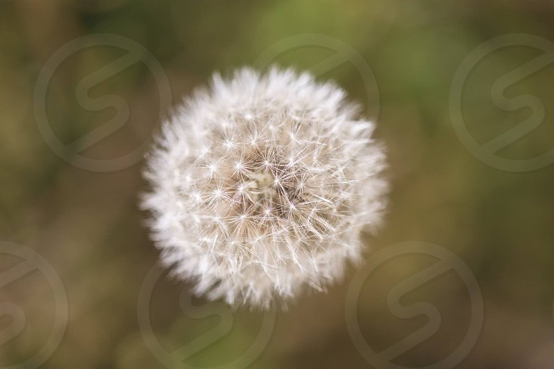 Dandelion puff weed puffball wish spring photo