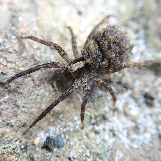 brown and black wolf spider photo
