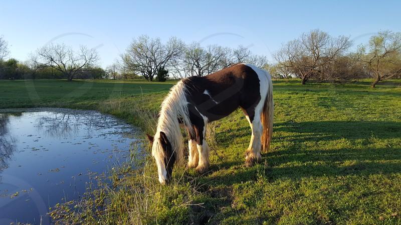 Gypsy horse . Dansie photo