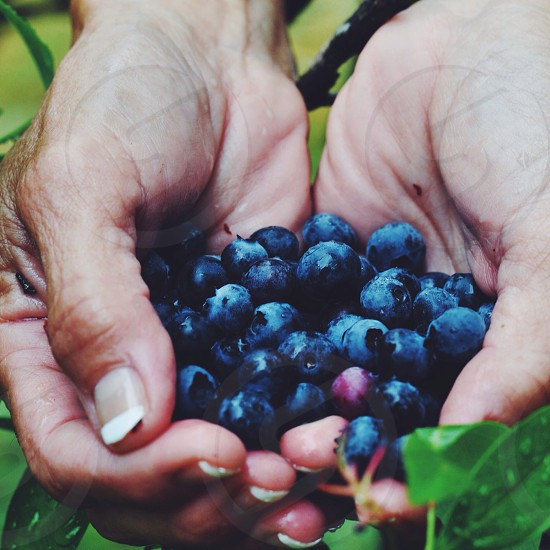 Hand-picked blueberries photo