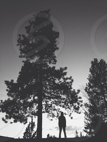 coniferous tree photo