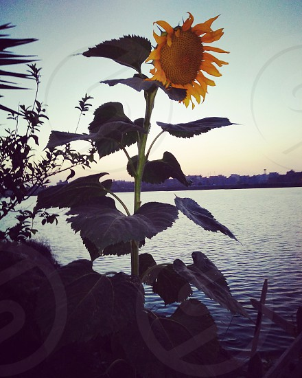 in love with coffee  sunflowers and sea photo