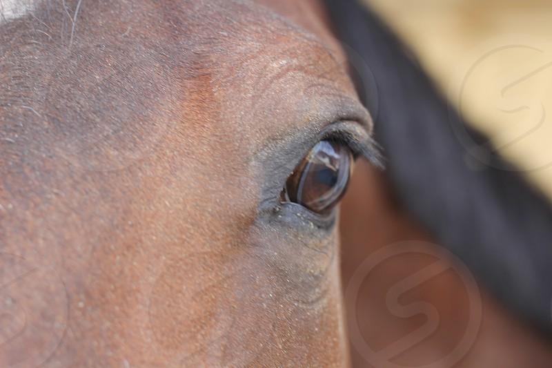 horse equestrian eye animal mane thoroughbred arabian quarter horse photo