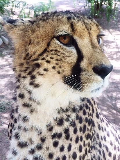 Cheetah face photo
