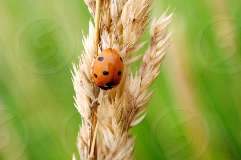 Tiny bug on a strand of wild grass photo