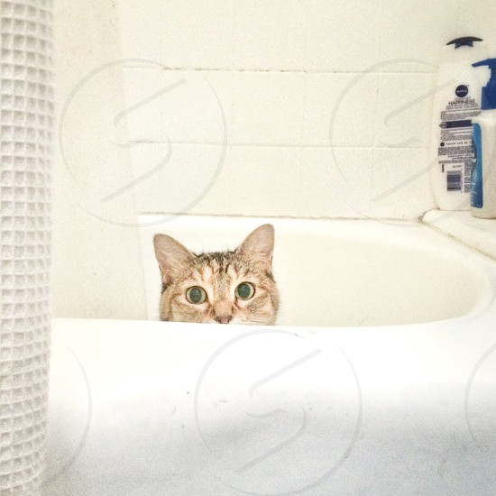 grey cat on white bath tub photo